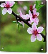 Blossoming Peach Flowers  Closeup Acrylic Print