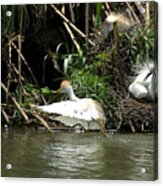 Cattle Egret Cooling Off In The Lake Acrylic Print