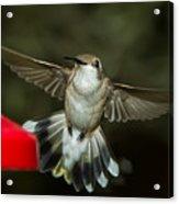 Female Ruby-throated Hummingbird Acrylic Print