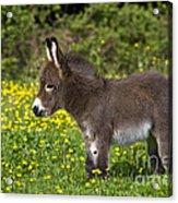 Miniature Donkey Foal Acrylic Print