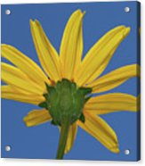 Wild Sunflower Stony Brook New York  Acrylic Print