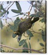Bellbird Acrylic Print