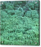 100134 Uluhe Ferns Hawaii Acrylic Print
