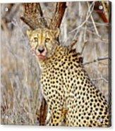 1022 Cheetah Acrylic Print