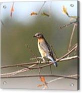 105319 - Bluebird Acrylic Print