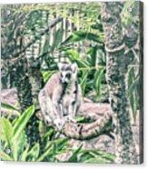 10773 Cotton Topped Tamarin Acrylic Print