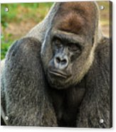 10898 Gorilla Acrylic Print