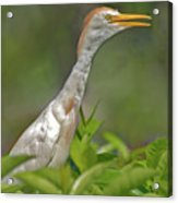 11- Cattle Egret Acrylic Print