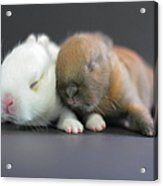 11 Day Old Bunnies Acrylic Print by Copyright Crezalyn Nerona Uratsuji