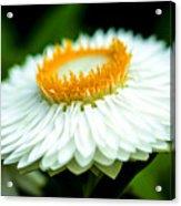 Flower Blossom Acrylic Print