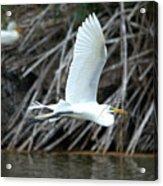 Great Egret Building A Nest Acrylic Print