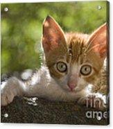 Kitten On A Wall Acrylic Print