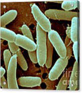 Lactobacillus Acidophilus Acrylic Print