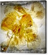 11265 Flower Abstract Series 02 #18 - Carnation 2 Acrylic Print