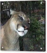 1153 - Mountain Lion Acrylic Print
