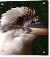 Australia - Kookaburra Poses Acrylic Print