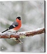 Eurasian Bullfinch In Winter Acrylic Print