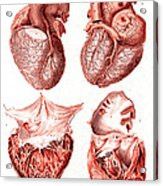 Heart, Anatomical Illustration, 1814 Acrylic Print