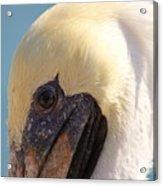 Pelican Up Close Acrylic Print