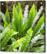 Rainforest At Foxground, Kiama Acrylic Print