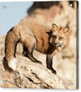 Red Tailed Fox Acrylic Print