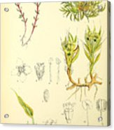 Illustrations Of The Flowering Plants And Ferns Of The Falkland Islands Acrylic Print