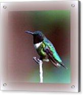 1281 - Hummingbird Acrylic Print