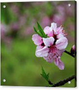 Blossoming Peach Flowers  Closeup Acrylic Print