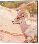 Desert Bighorn Ram Acrylic Print