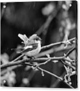 European Pied Flycatcher Acrylic Print