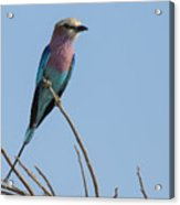 Lilac Breasted Roller On Alert Acrylic Print