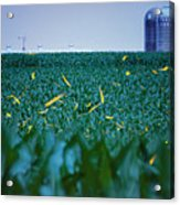 1306 - Fireflies - Lightning Bugs Over Corn Acrylic Print