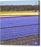 Hyacinths Fields Acrylic Print