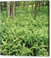 146112 Ferns In Pisgah Nat Forest V Acrylic Print