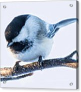Black Capped Chickadee Acrylic Print