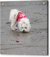 My Small Dog Acrylic Print
