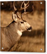 15-point Mule Deer Stepping Along Acrylic Print