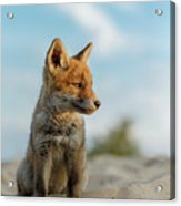 Red Fox Cub Acrylic Print