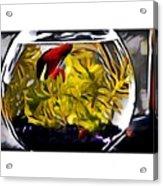 Siamese Fighting Fish Acrylic Print