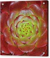 Succulent Acrylic Print