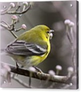 1575 - Pine Warbler Acrylic Print