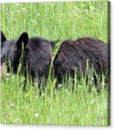 American Black Bear Yellowstone Usa Acrylic Print