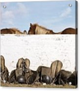 162669 Horse Walls Animals National Geographic Acrylic Print