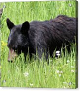 American Black Bear Yellowstone Usa Acrylic Print