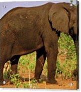 Botswana Acrylic Print