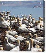 Gannet Colony Acrylic Print