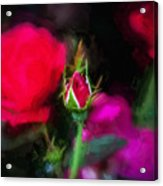 Knockout Roses Painted  Acrylic Print