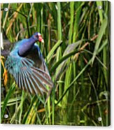 Purple Gallinule Acrylic Print