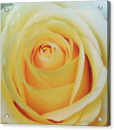 18 Yellow Roses Acrylic Print