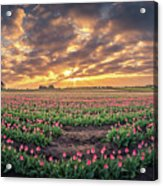 180 Degree View Of Sunrise Over Tulip Field Acrylic Print